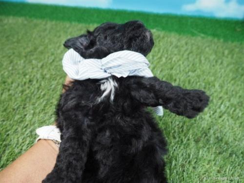 トイプードルの子犬(ID:1255511489)の5枚目の写真/更新日:2021-04-15