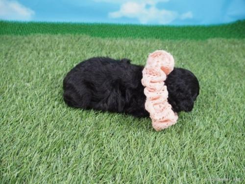 トイプードルの子犬(ID:1255511490)の2枚目の写真/更新日:2021-02-04