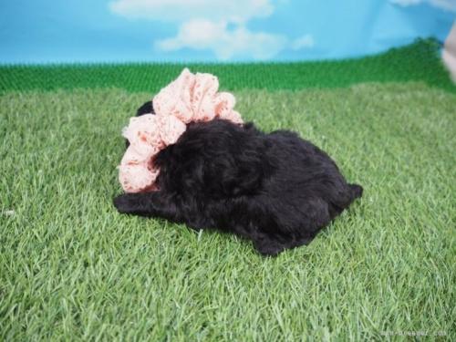 トイプードルの子犬(ID:1255511490)の3枚目の写真/更新日:2021-02-04