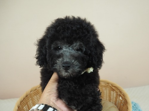 トイプードルの子犬(ID:1255511492)の1枚目の写真/更新日:2021-10-14