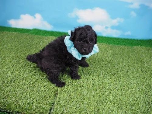 トイプードルの子犬(ID:1255511492)の2枚目の写真/更新日:2021-10-14