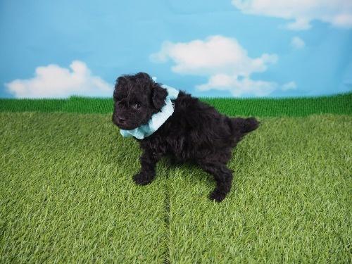 トイプードルの子犬(ID:1255511492)の3枚目の写真/更新日:2021-10-14
