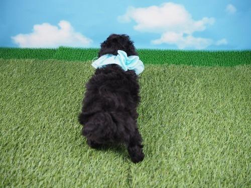 トイプードルの子犬(ID:1255511492)の4枚目の写真/更新日:2021-10-14