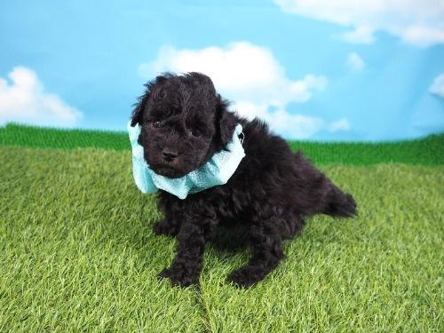 トイプードルの子犬(ID:1255511492)の5枚目の写真/更新日:2021-10-14