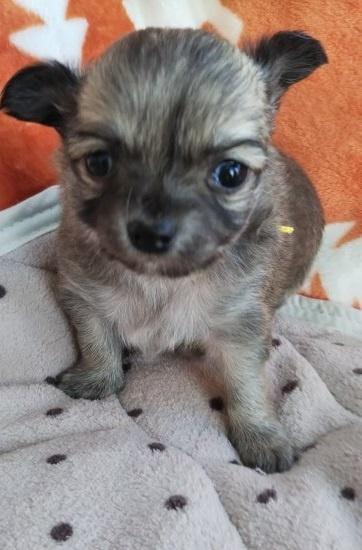チワワ(ロング)の子犬(ID:1255611003)の1枚目の写真/更新日:2018-12-30