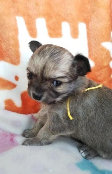 チワワ(ロング)の子犬(ID:1255611003)の2枚目の写真/更新日:2018-12-30