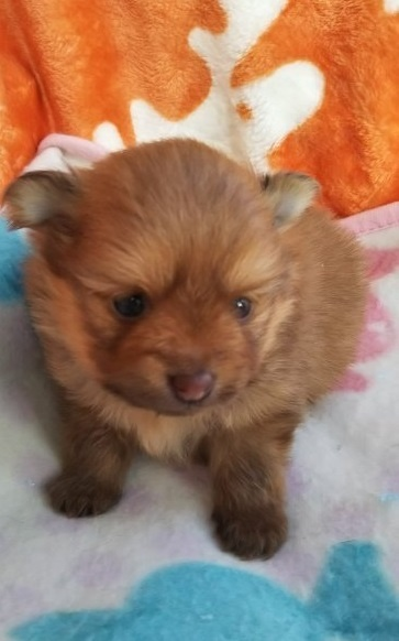 ポメラニアンの子犬(ID:1255611007)の1枚目の写真/更新日:2018-12-30