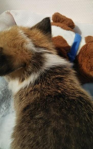 ウェルシュ・コーギー・ペンブロークの子犬(ID:1255611025)の2枚目の写真/更新日:2019-03-22