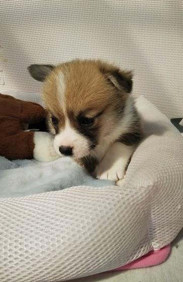 ウェルシュ・コーギー・ペンブロークの子犬(ID:1255611025)の4枚目の写真/更新日:2019-03-22