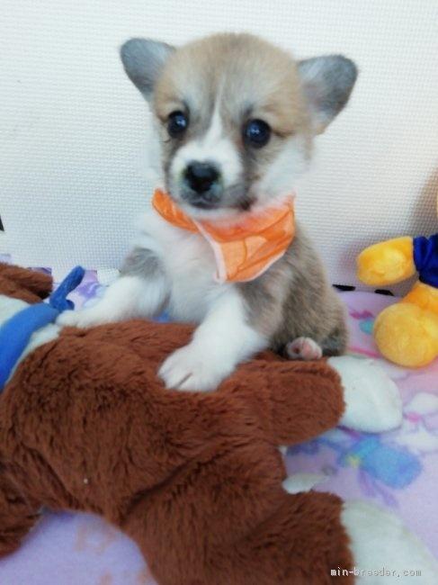 ウェルシュ・コーギー・ペンブロークの子犬(ID:1255611026)の1枚目の写真/更新日:2019-03-22