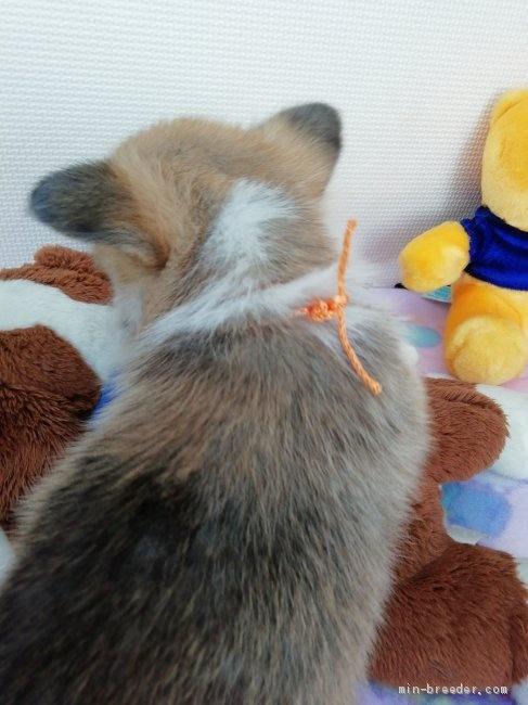 ウェルシュ・コーギー・ペンブロークの子犬(ID:1255611026)の2枚目の写真/更新日:2019-03-22