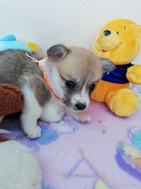 ウェルシュ・コーギー・ペンブロークの子犬(ID:1255611026)の3枚目の写真/更新日:2019-03-22