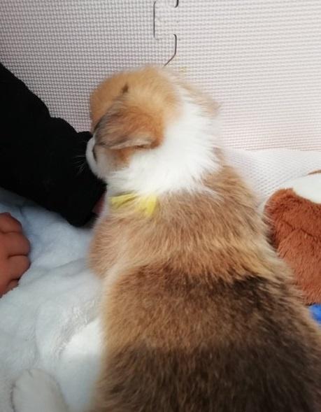 ウェルシュ・コーギー・ペンブロークの子犬(ID:1255611027)の2枚目の写真/更新日:2019-03-22
