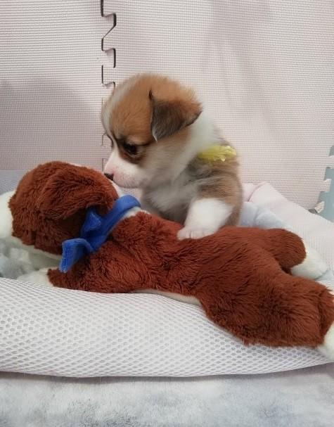 ウェルシュ・コーギー・ペンブロークの子犬(ID:1255611027)の4枚目の写真/更新日:2019-03-22