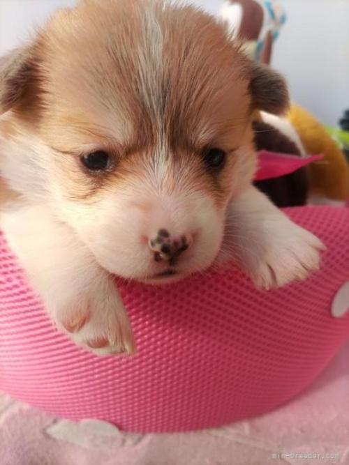 ウェルシュ・コーギー・ペンブロークの子犬(ID:1255611028)の4枚目の写真/更新日:2019-03-22