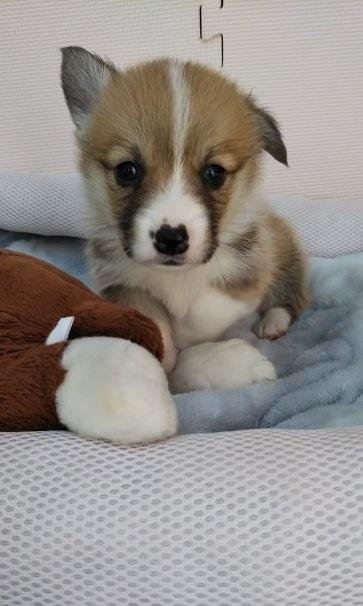ウェルシュ・コーギー・ペンブロークの子犬(ID:1255611030)の1枚目の写真/更新日:2019-03-22