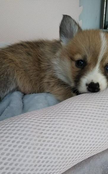 ウェルシュ・コーギー・ペンブロークの子犬(ID:1255611030)の4枚目の写真/更新日:2019-03-22