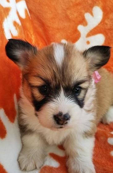 ウェルシュ・コーギー・ペンブロークの子犬(ID:1255611031)の1枚目の写真/更新日:2018-12-30