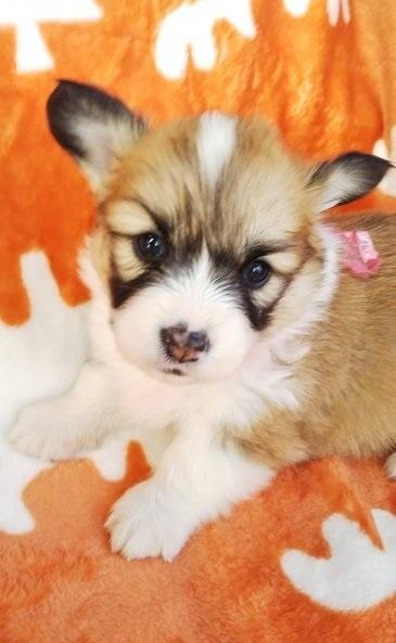 ウェルシュ・コーギー・ペンブロークの子犬(ID:1255611031)の4枚目の写真/更新日:2018-12-30