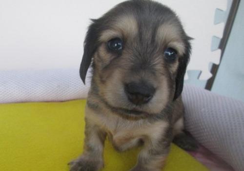 カニンヘンダックスフンド(ロング)の子犬(ID:1255611034)の1枚目の写真/更新日:2018-07-10