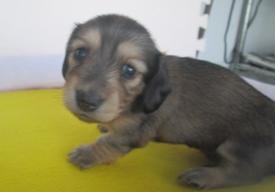 カニンヘンダックスフンド(ロング)の子犬(ID:1255611034)の3枚目の写真/更新日:2018-07-10
