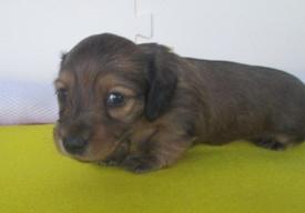カニンヘンダックスフンド(ロング)の子犬(ID:1255611035)の3枚目の写真/更新日:2018-07-10