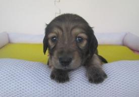 カニンヘンダックスフンド(ロング)の子犬(ID:1255611036)の2枚目の写真/更新日:2018-07-10