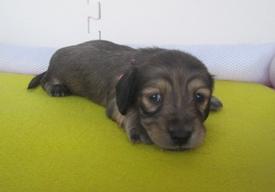 カニンヘンダックスフンド(ロング)の子犬(ID:1255611036)の3枚目の写真/更新日:2018-07-10