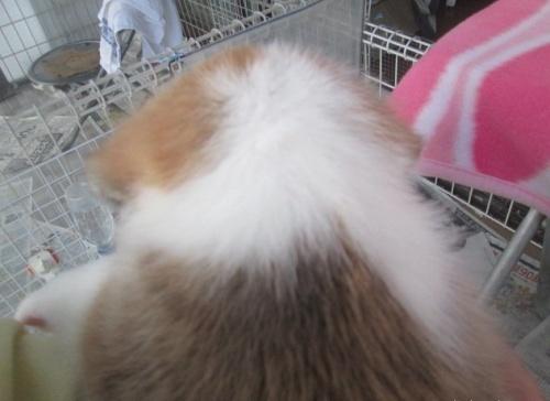 ウェルシュ・コーギー・ペンブロークの子犬(ID:1255611049)の2枚目の写真/更新日:2018-10-05