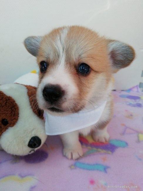 ウェルシュ・コーギー・ペンブロークの子犬(ID:1255611050)の1枚目の写真/更新日:2018-12-30