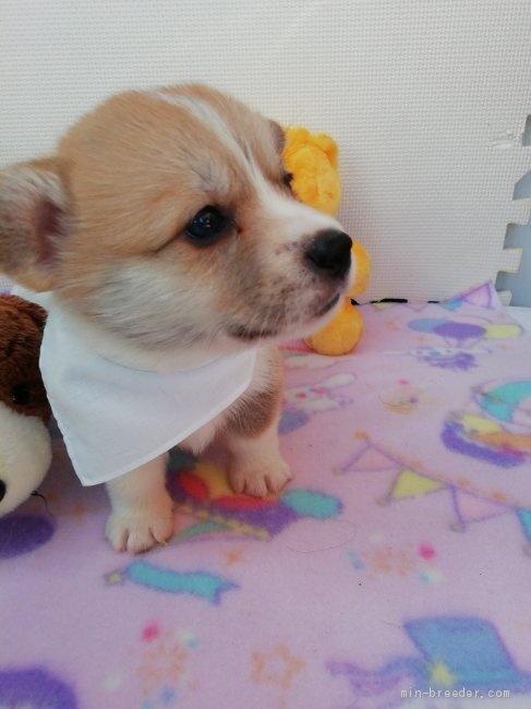 ウェルシュ・コーギー・ペンブロークの子犬(ID:1255611050)の2枚目の写真/更新日:2018-12-30
