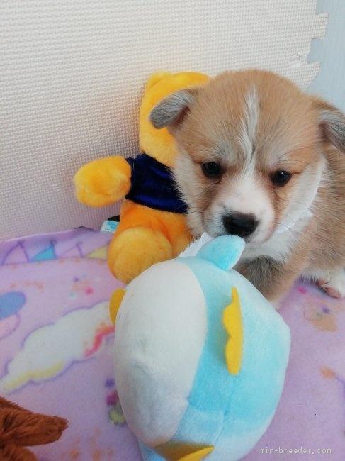 ウェルシュ・コーギー・ペンブロークの子犬(ID:1255611050)の3枚目の写真/更新日:2018-12-30