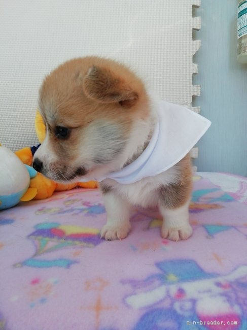 ウェルシュ・コーギー・ペンブロークの子犬(ID:1255611050)の4枚目の写真/更新日:2018-12-30