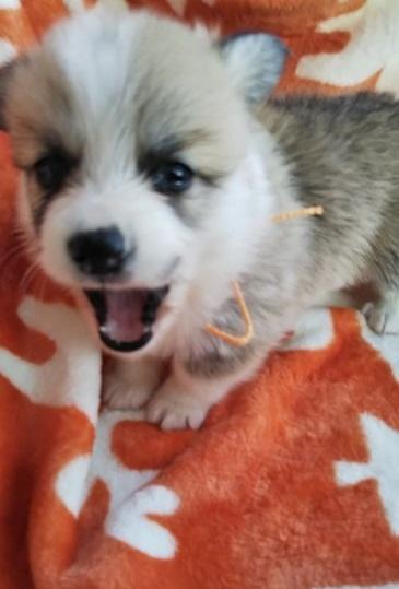 ウェルシュ・コーギー・ペンブロークの子犬(ID:1255611051)の2枚目の写真/更新日:2018-12-30