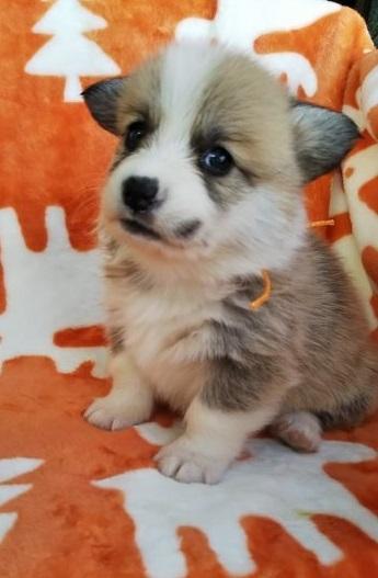 ウェルシュ・コーギー・ペンブロークの子犬(ID:1255611051)の3枚目の写真/更新日:2018-12-30