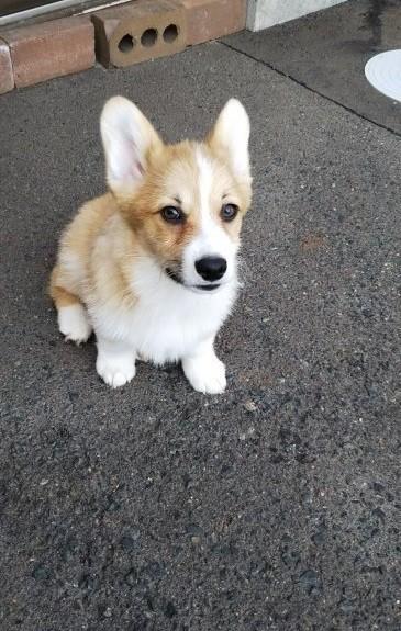 ウェルシュ・コーギー・ペンブロークの子犬(ID:1255611052)の1枚目の写真/更新日:2019-05-16
