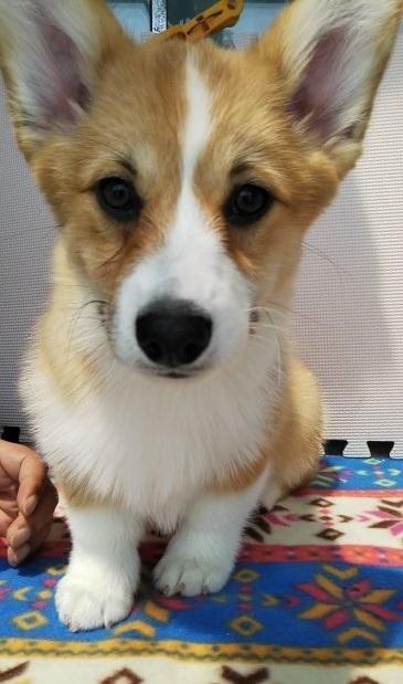 ウェルシュ・コーギー・ペンブロークの子犬(ID:1255611052)の4枚目の写真/更新日:2019-05-16