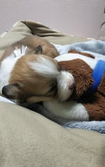 ウェルシュ・コーギー・ペンブロークの子犬(ID:1255611054)の3枚目の写真/更新日:2019-02-18