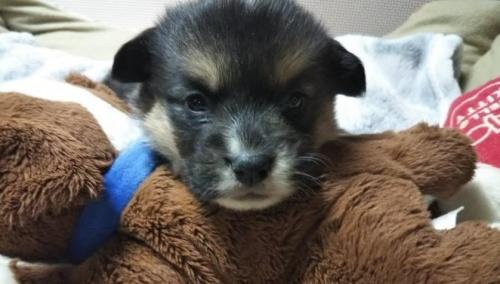 ウェルシュ・コーギー・ペンブロークの子犬(ID:1255611055)の1枚目の写真/更新日:2019-02-18