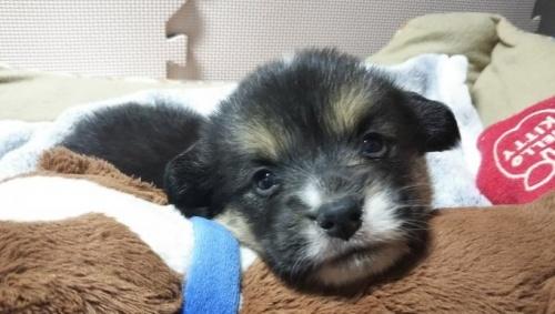 ウェルシュ・コーギー・ペンブロークの子犬(ID:1255611055)の4枚目の写真/更新日:2019-02-18