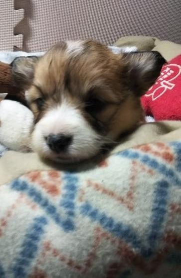 ウェルシュ・コーギー・ペンブロークの子犬(ID:1255611056)の1枚目の写真/更新日:2019-02-18