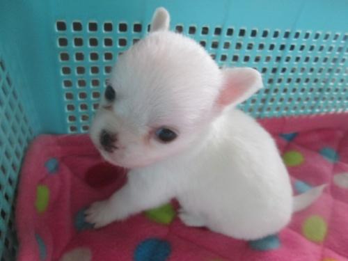 チワワ(ロング)の子犬(ID:1255611064)の2枚目の写真/更新日:2016-09-08
