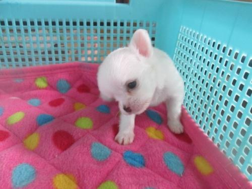 チワワ(ロング)の子犬(ID:1255611064)の3枚目の写真/更新日:2016-09-08