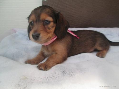 カニンヘンダックスフンド(ロング)の子犬(ID:1255611068)の2枚目の写真/更新日:2020-04-06