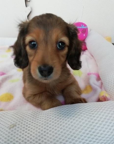 カニンヘンダックスフンド(ロング)の子犬(ID:1255611070)の1枚目の写真/更新日:2017-01-09