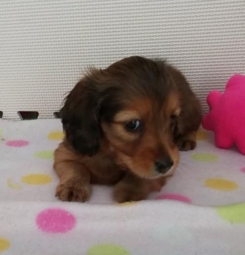 カニンヘンダックスフンド(ロング)の子犬(ID:1255611070)の2枚目の写真/更新日:2017-01-09