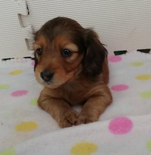 カニンヘンダックスフンド(ロング)の子犬(ID:1255611070)の3枚目の写真/更新日:2017-01-09