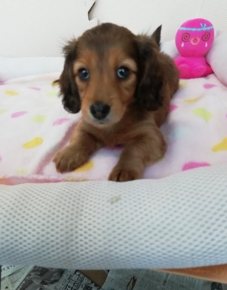 カニンヘンダックスフンド(ロング)の子犬(ID:1255611070)の4枚目の写真/更新日:2017-01-09