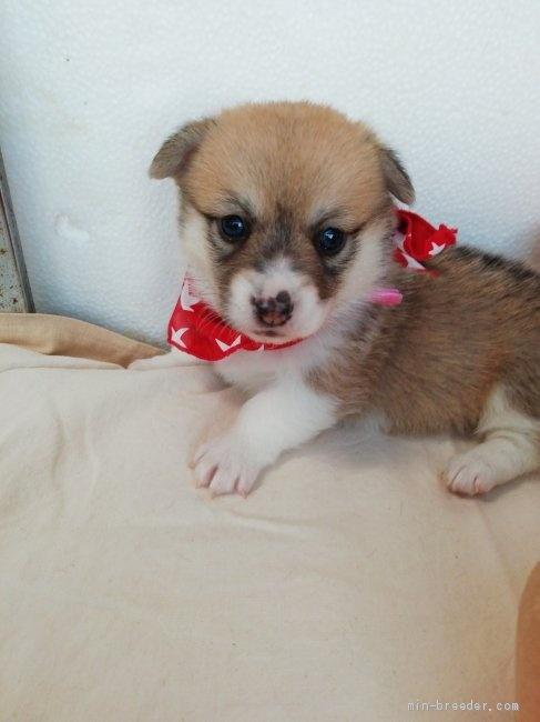 ウェルシュ・コーギー・ペンブロークの子犬(ID:1255611075)の1枚目の写真/更新日:2021-04-29