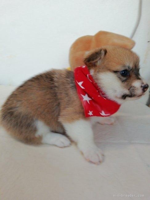 ウェルシュ・コーギー・ペンブロークの子犬(ID:1255611075)の5枚目の写真/更新日:2021-04-29